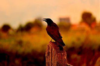 crow-3604685_1280